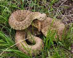 Rattlesnake Map Venomous Serpents Pinterest