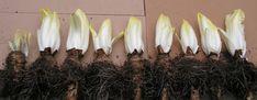 24) Witlof kweken – sjeftuintips Candles, Candy, Candle, Pillar Candles, Lights