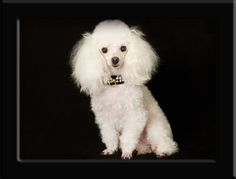 toy poodle | white tiny toy poodle