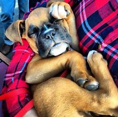 Omg this boxer pup is absolutely adorable!