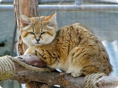 the sand cat also referred to as the sand dune cat is a small wild cat ... - #teacupcats - See more stunning picture of Tiny Cat Breeds at Catsincare.com!