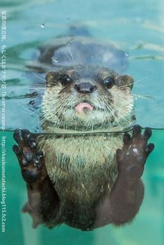 Otter gets up close for a photo - November 15 KISS IT! They're like water kittens. Otters Cute, Baby Otters, Baby Sloth, Cute Baby Animals, Animals And Pets, Funny Animals, Otter Love, Tier Fotos, Cute Creatures