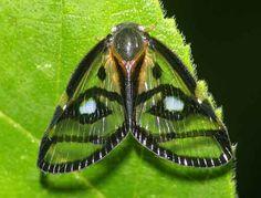 Ricaniidae.sp....just like a piece of jewelry