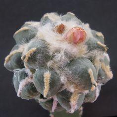 Ariocarpus retusus MARUIBO PECTINATUS