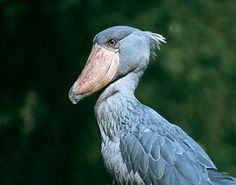 The shoebill stork (also known as the whale head) from marshy central Africa (Uganda, the Congo). Shoebill Stork, African Union, Love Birds, Continents, Uganda, Whale, National Parks, Wildlife, Odd Animals