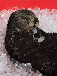 I Has an Ice Cube. Lots of Ice Cubes! (This is a photo of Mae, one of Monterey Bay Aquarium's sea otters. The aquarium rescued her when she was just two days old and she passed away this weekend at 11 years old. More information at Monterey Bay Aquarium.)