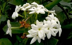 Arabischer Jasmin (Pflanze)