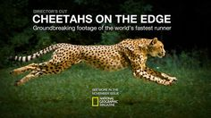 """National Geographic: Cheetahs on the Edge -. - National Geographic: Cheetahs on the Edge - Director's Cut """" Cheetahs are the fastest runners on the planet. Combining the resources of National Geographic and the Cincinnati Zoo, and drawing on the. National Geographic, Hollywood Action Movies, Besties, Cats Tumblr, Cincinnati Zoo, Animation Reference, Tumblr Photography, Motion Photography, Cheetahs"""