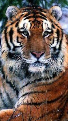 Gorgeous Tiger!
