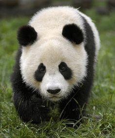 CHINA-QUAKE-ENVIRONMENT-ANIMAL-PANDA-FILES
