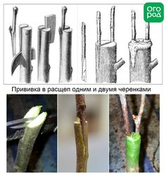 Grafting the apple tree You can get detailed information about Gardening.