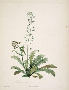 gravures botanique Rousseau - gravures botanique Rousseau - 144 thlaspi bursa pastoris- tabouret - bourse a pasteur - Gravures, illustrations, dessins, images