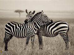 National Geographic animals monochrome zebras wallpaper (#2194043) / Wallbase.cc