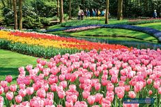 I'm SUCH a fan of tulips and Holland in the Spring is a spectacular time to see them. @AmaWaterways themed cruises have wonderful itineraries to enjoy the tulips in spring. You can even do a beer themed tulip cruise. Yes, you really can! #AmaSTN #rivercruise #luxurytravel #europetravel #hollandtravel #tulipcruise #anniversarytrips