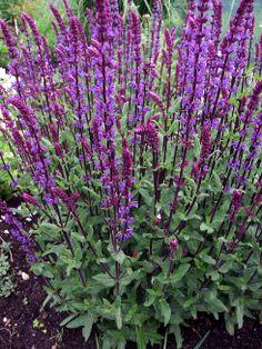 Salvia n. 'Caradonna' - to me the best perennial salvia. dark purple stems.