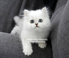 Silver, Shaded Silver, Chinchilla Golden & Blue Golden Persian kittens for sale Persian Kittens For Sale, Kitten For Sale, Cats And Kittens, Spoiled Rotten, In Ancient Times, Missouri, Make Me Smile, Animals And Pets, Cute Cats