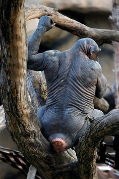 Hairless Gorilla| Flickr - Photo Sharing!