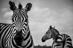 Portrait of a Grant's Zebra - Kenya