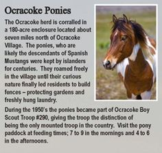 """Ocracoke Island - the ponies are fenced in now - to protect them from """"humans"""" although it is a large area it was disappointing to see them fenced in"""