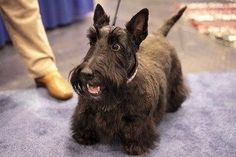 Scotties have GIANT personalities for such little dogs. They make the funniest faces! | What Every Scottish Terrier Owner Knows