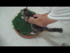 Because cats like to lay out in the yard but my cats are indoors cats it is not safe to let them out so they resort to laying in my houseplants so I thought of making them something they could lay in so I looked around and saw that they had different types of grass and ground cover so I purchase a flat of St. Augustine and a couple of drip trays...