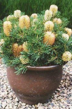 hairpin banksia - b. spinulosa