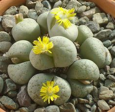 Miraculous Flora story ( 신기한 플로라 이야기) - 바위에 꽃이 피었네요. 다육식물 리톱스. 어느 페친분이 일명 Stone flower라 명명하시더라고요.ㅎㅎ