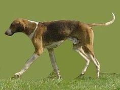 Foxhound anglais.