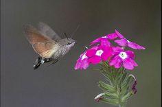 The Hummingbird Hawk-Moth (le sphinx colibri) Bizarre Animals, Ugly Animals, Unusual Animals, Rare Animals, Animals Beautiful, Animals And Pets, Awkward Animals, Beautiful Bugs, Lovely Creatures