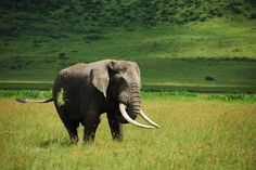 An elephant spotted near the Ngoro Ngoro Crater in Tanzania.