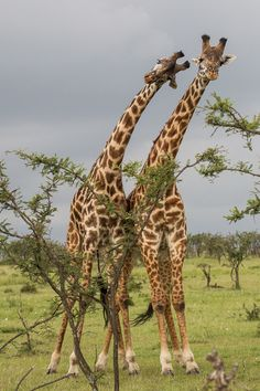 That is going to hurt..Two Masai Giraffes Fighting