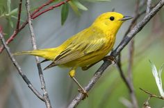 With the largest breeding range of any warbler species, the Yellow Warbler is common not only in most of North America but as far south as Peru.