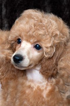 Toy Poodles, Mini Poodles, French Poodles, I Love Dogs, Cute Dogs, Animals And Pets, Cute Animals, Poodle Hair, Teddy Bear Dog