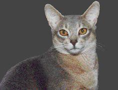 blue abyssinian cat