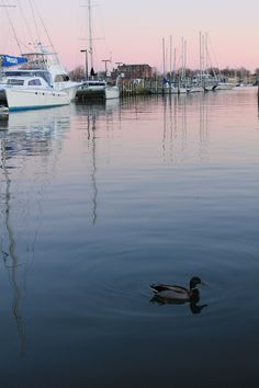 Downtown Annapolis Maryland - sunset, sailboats, and a Mallard duck