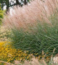 'Morning Light' miscanthus, Miscanthus, Privacy Screen, Privacy, Rudbeckia, Black-Eyed Susan