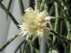 Un cactus precioso para tu hogar. ¡Un sueño!