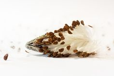 Withered plant - whole seeds before they would be blown (Asclepias syriaca)
