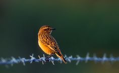 Whinchat backlit by early winter sun taken by Terry Button. Kent, UK.