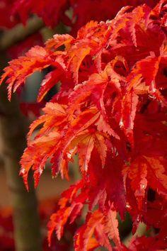Wilson's Garden Ctr post of their Lions Head Shishigashira Japanese Maple Japanese Maple Varieties, Dwarf Japanese Maple, Japanese Tree, Japanese Gardens, Maple Tree Varieties, Pruning Japanese Maples, Blue Star Juniper, Asian Jasmine, Trees Online