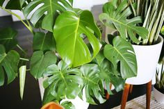 Split-Leaf Philodendron | 5 Easy-to-Care-for Houseplants from A Beautiful Mess.