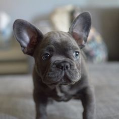 OMGOODNESS!!! Love me a little frenchies!! This baby would go perfectly with Roxxy!! Limited Edition French Bulldog Tee http://teespring.com/lovefrenchbulldogs Limited Edition French Bulldog Tee