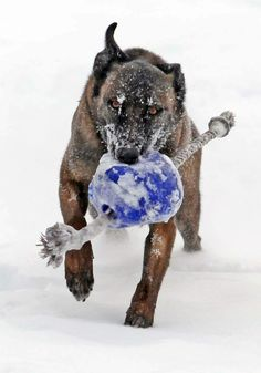 This is an amazing picture, comment for credit of this is your dog! Berger Malinois, Belgian Malinois Dog, Belgian Shepherd, German Shepherds, Me And My Dog, War Dogs, Police Dogs, Dog Photography, Working Dogs