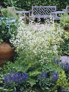 Thalictrum delavayi 'Album' (juni-aug 100 cm h) of Thalictrum delavayi 'Splendide White' (juli-aug, 140-160 cm h, steviger en grotere bloemen, zonnig, weefplant)