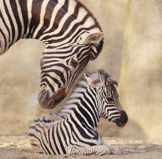 San Diego Zoo Kids is your source for zebra facts for kids. Learn more about Zebras through our resources of pictures and facts. Nature Animals, Animals And Pets, Baby Animals, Cute Animals, Wild Animals, Especie Animal, Mundo Animal, Zebra Pictures, Animal Pictures