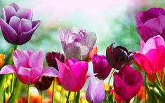 Pink and Purple tulips - beautiful flowers in the garden. Beautiful flowers and plants Wallpapers. HD Wallpaper Download for iPad and iPhone Widescreen 2160p