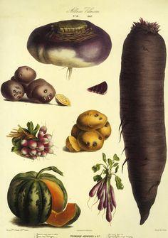 Sale Vintage Paris Botanical Vegetable Print on by GalleryBotanica, $20.00