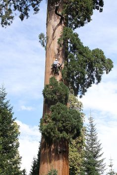Climbing a champion tree to harvest genetic new growth for cloning. Harvest from Coastal Redwoods and Sequoia