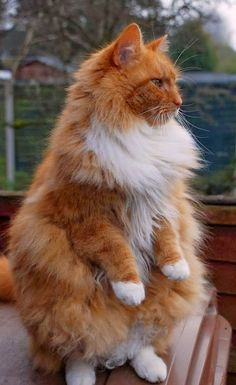 GORGEOUS!!! Splitting image of our huge big fluffy ginger Maine Coone, TIMOTHY xxxx