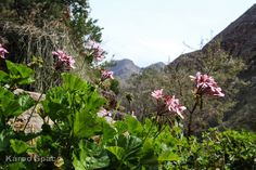 Those gloriously colourful pelargoniums in the window boxes of Europe have their roots deep in the Little Karoo. Famous Waterfalls, Walk In The Woods, Window Boxes, Flower Boxes, History Books, Shades Of Red, Geraniums, Green Leaves, Botanical Gardens